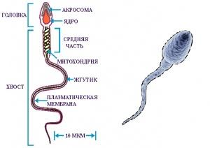 Картинки сперматозоида